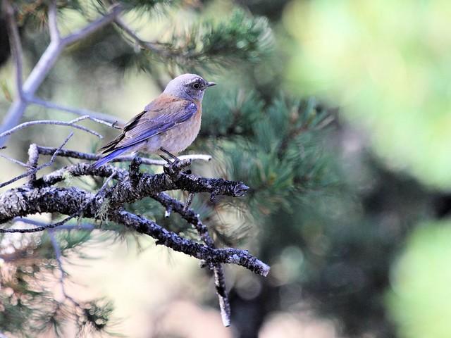 Western Bluebird male 20130619
