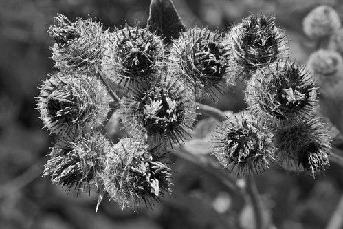 Burdock in Black and White