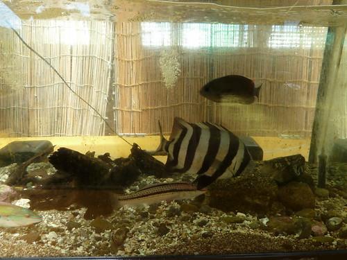 イシダイ ブルーベリーヒル勝浦のお魚館