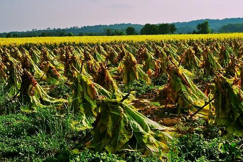 kentucky tobacco tobaccostakes nikond700 kentuckytobacco morgankentucky