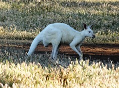 Bordertown. A white kangaroo in the jump of roos at Bordertown South Australia.