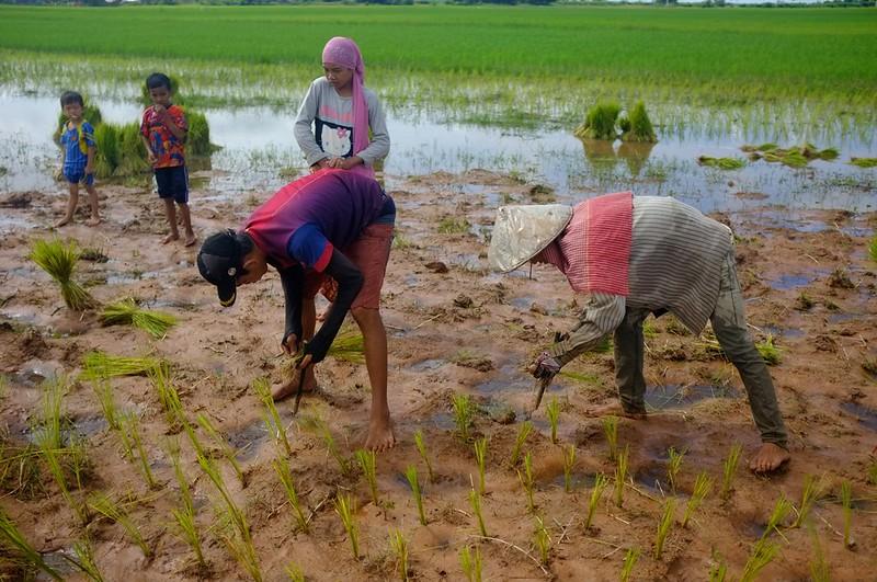 Paddy planting 1