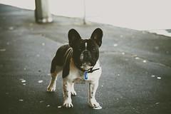 animal, puppy, dog, pet, mammal, french bulldog, boston terrier, bulldog, black, terrier,