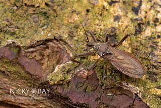 Assassin Bug (Reduviidae) - DSC_9199