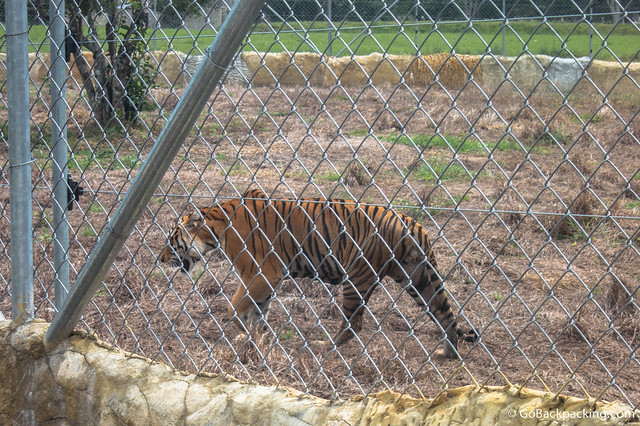 One of two tigers