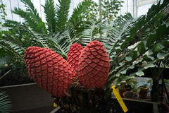 See cycad cones in the Palm House