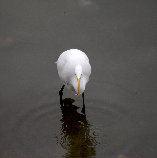 Egretta alba, Great White Egret, Garceta Grande