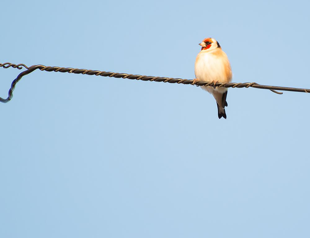 goldfinch billy clapham photography