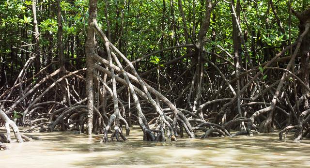 Manglares en la Bahía de Phang Nga. Tailandia.