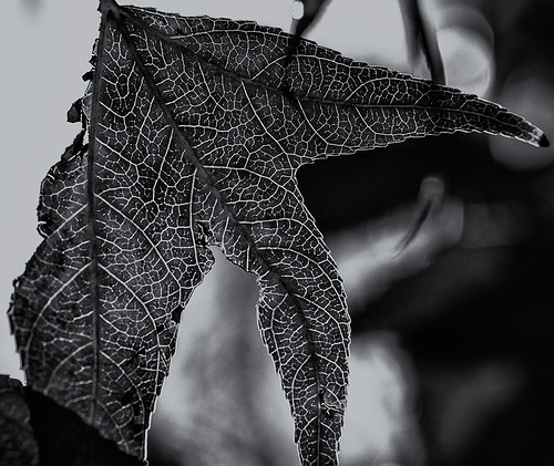 sun-illuminated leaf -edit (black and white) by joeeisner