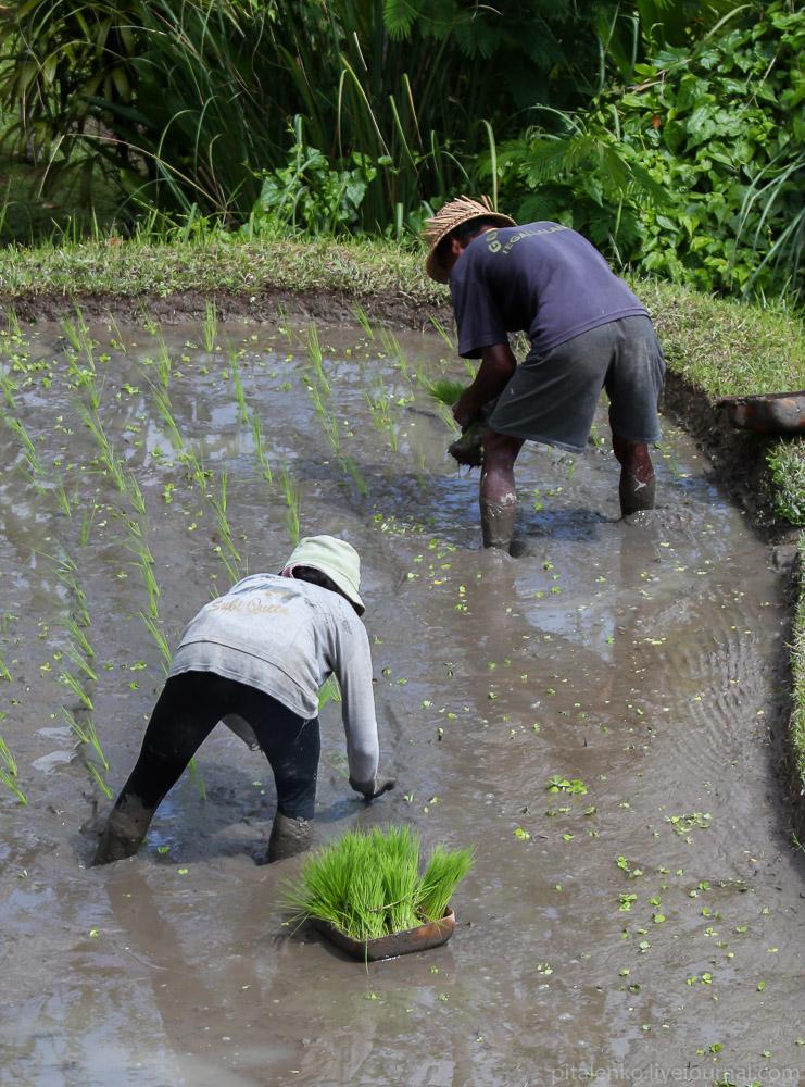 крестьяне садят рис