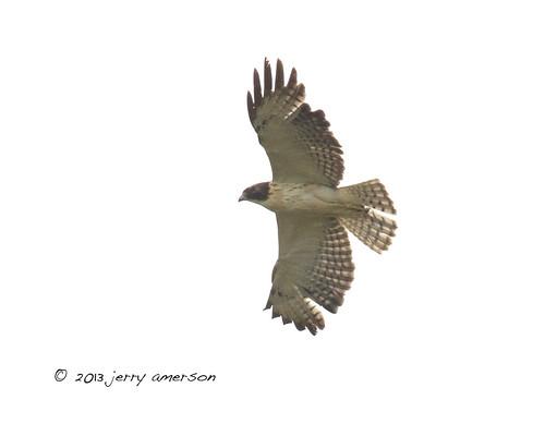 georgia hawk jerry shorttailed 2013 shorttailedhawk amerson
