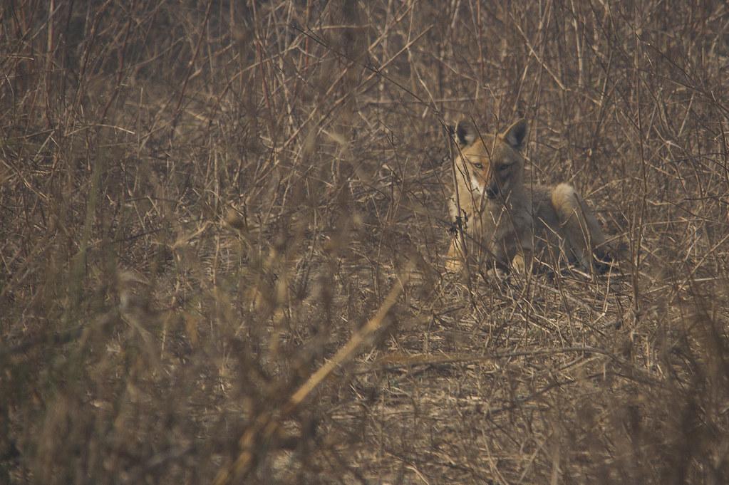 fox_crop