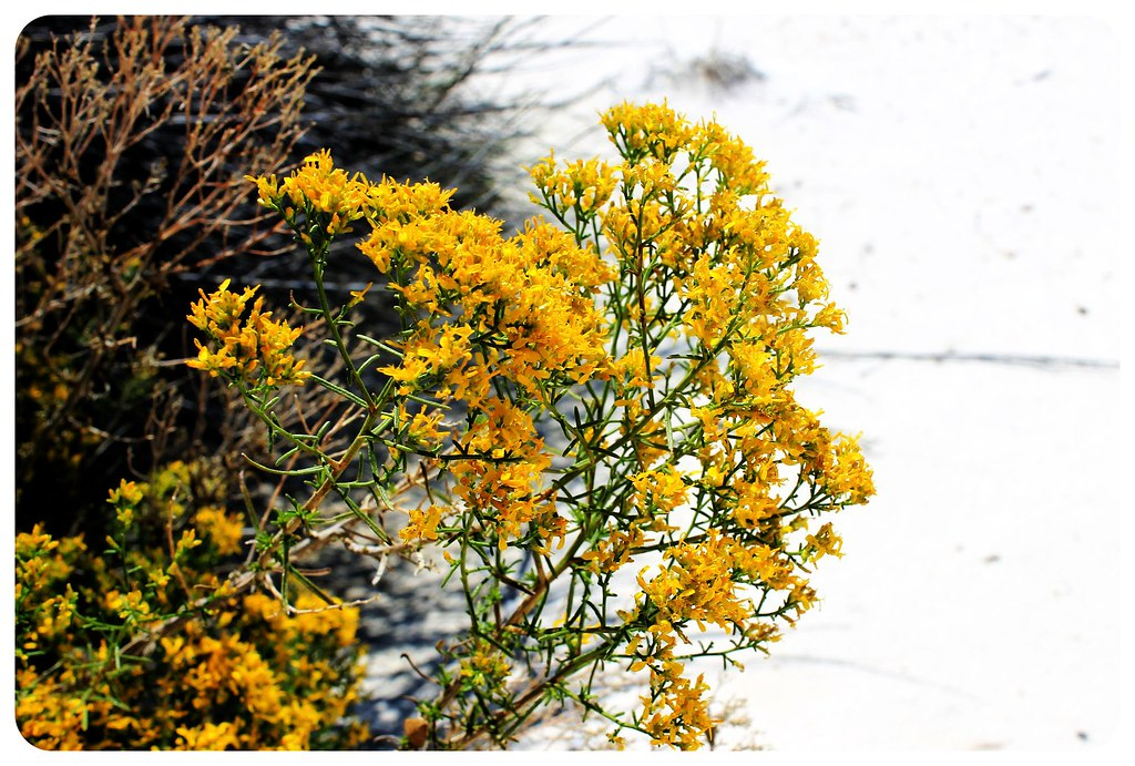 White Sands New Mexico yellow flowers