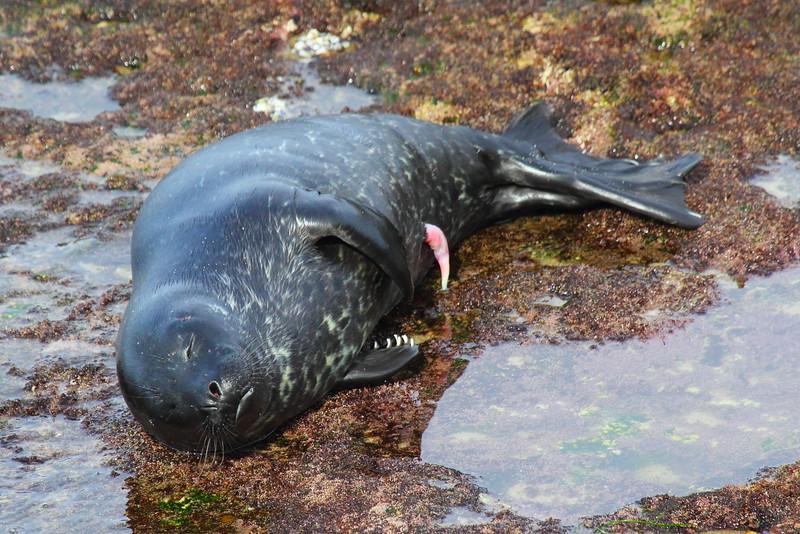 IMG_9765 New Born Harbor Seal Pup