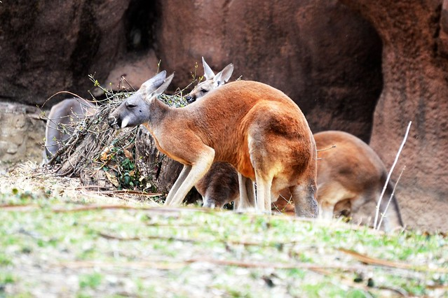 Red Kangaroos