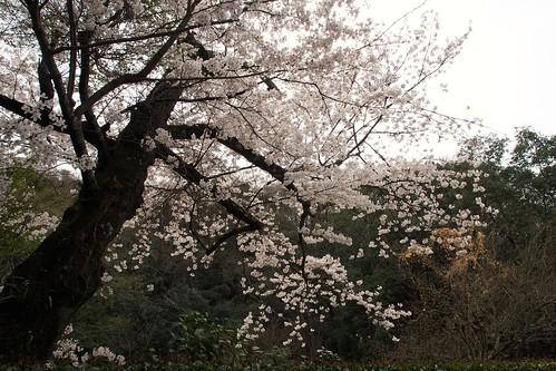 桜2014 清荒神