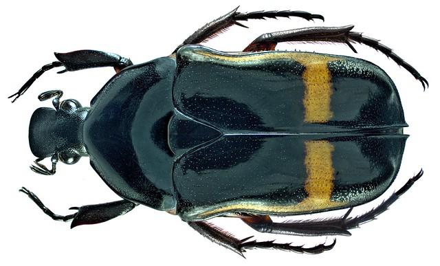 Pedinorrhina septa septa (Harold, 1879)