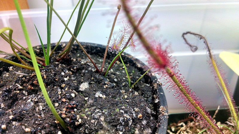 Drosera binata plantlet from root cutting.