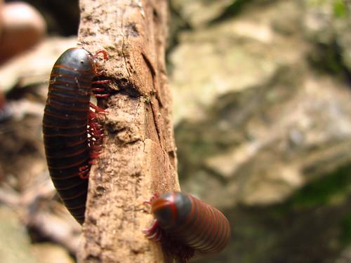 Narceus americanus/annularis complex #1