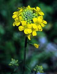 flower, yellow, mustard plant, plant, mustard, subshrub, herb, flora, rapeseed,