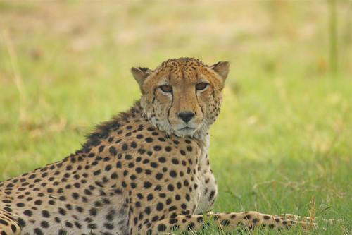 cheetah botswana predator moremi carnivore gepard acinonyxjubatus okavangodelta guépard roofdier jachtluipaard