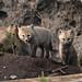 Fox pups by YellowstoneNPS