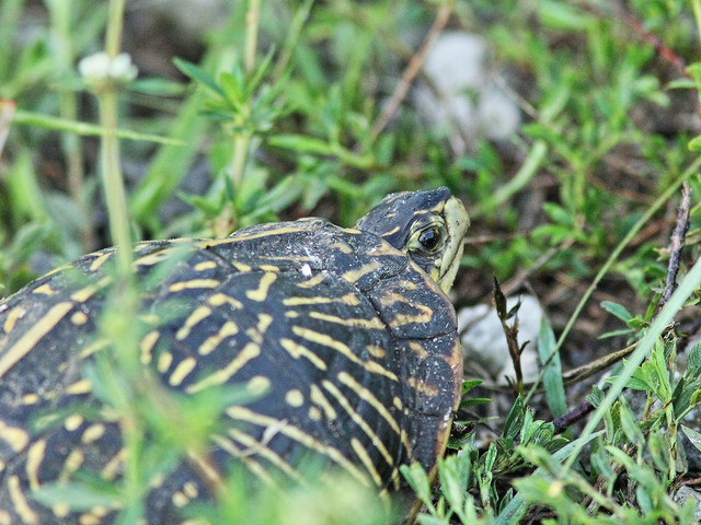 Florida Box Turtle 20150805