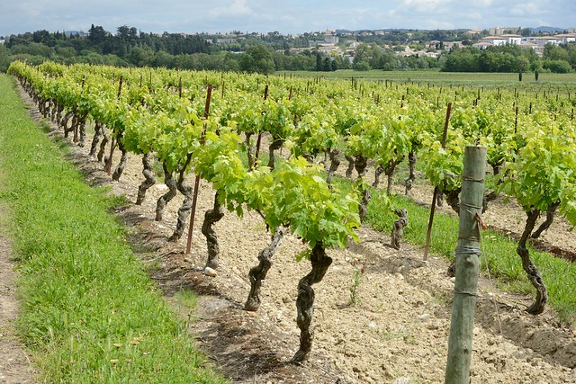 0289-20160519_Chateau Auzias Winery, Pennautier-Carcassonne-Languedoc-France-rows of vines in Vineyard beside Winery