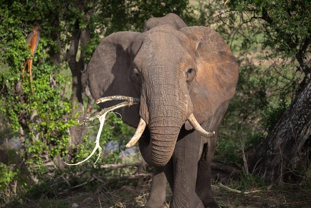 An Elephant's Toothpick
