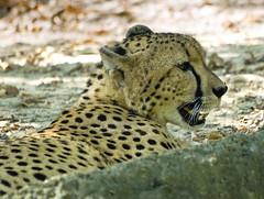 Memphis Zoo 08-31-2016 - Cheetah 16