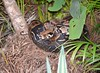 Boa Constrictor - this one found in Northern Tobago (near Speyside.