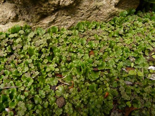 Marchantia polymorpha L.=Hépatique des Fontaines - Champ Blaire 1050m (1)