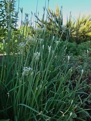 prairie, flower, plant, chrysopogon zizanioides, welsh onion, herb, meadow,