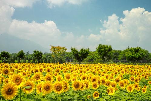 2013 Sunflower