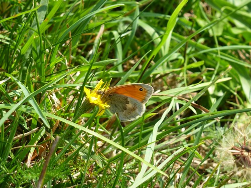 Small Heath butterfly by Linda Yarrow