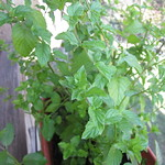 peppermint planting in Back Porch Herb Garden by mamagotcha