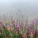 Epilobes dans la brume