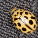16-spot Ladybird - Photo (c) gbohne, some rights reserved (CC BY-SA)