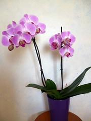 flower bouquet(0.0), flower arranging(1.0), cut flowers(1.0), flower(1.0), purple(1.0), violet(1.0), artificial flower(1.0), floral design(1.0), plant(1.0), lilac(1.0), lavender(1.0), moth orchid(1.0), floristry(1.0), dendrobium(1.0), pink(1.0), petal(1.0),