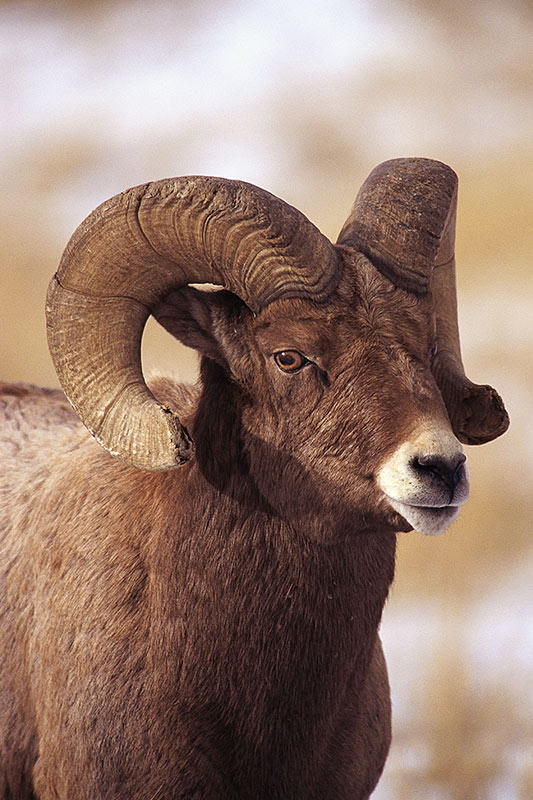 Wildlife in British Columbia, Canada: Bighorn Sheep