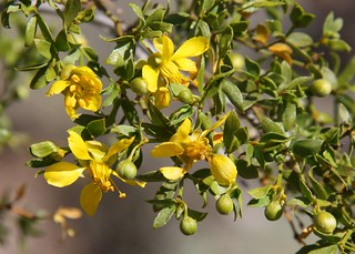 Creosote Bloom