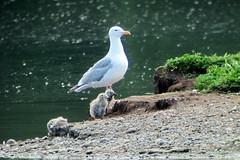 Herring Gull, 6/26/2013, Westchester Lagoon, AK