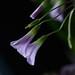 Ukrasna djetelina-Oxalis triangularis purpurea by Jolika