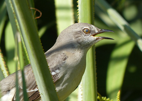 Northern Mockingbird (mimus polyglottos) - showing the nictitating membrane
