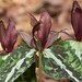 Trillium decipiens (Deceiving Trillium or Chattahoochee River Wake Robin) [Explore 2014-02-25] by jimf_29605