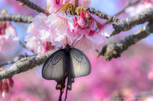 今帰仁グスク桜まつり | Okinawa #13