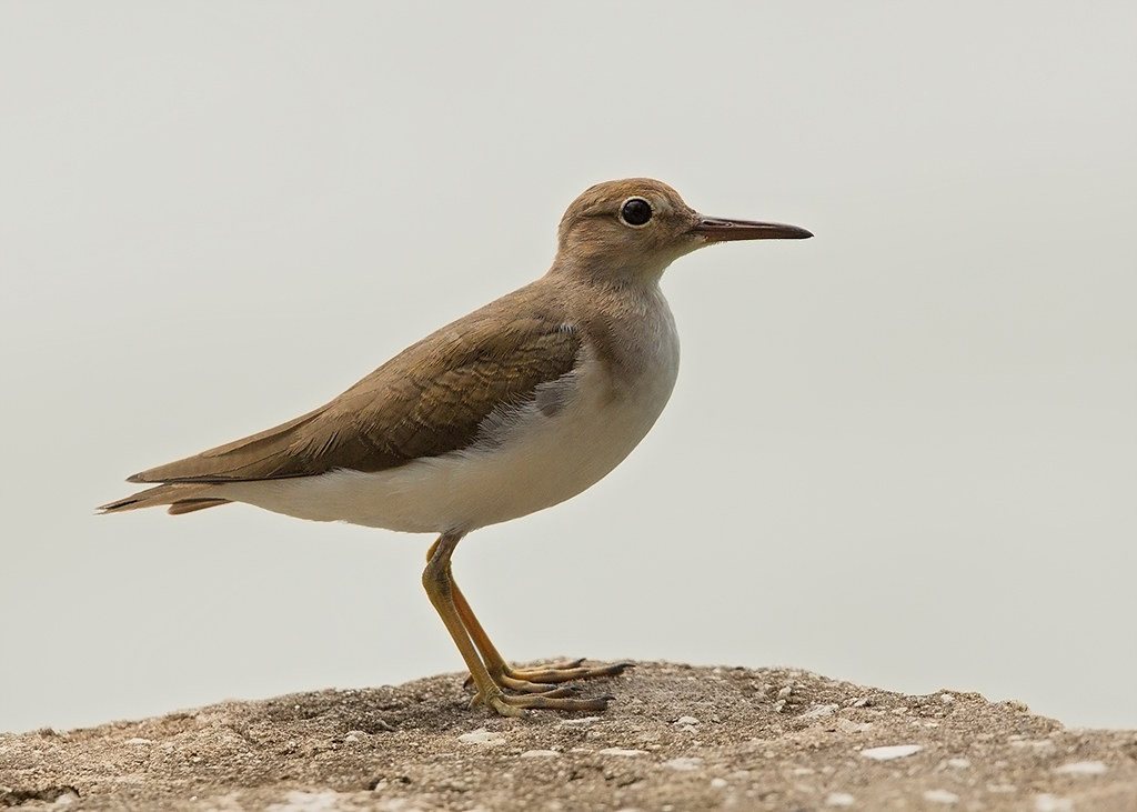 Spotted Sandpiper 2014-01-30