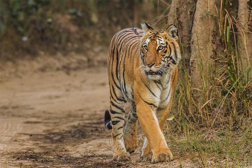 印度的野生虎數量回升。(來源:soumyajit nandy)