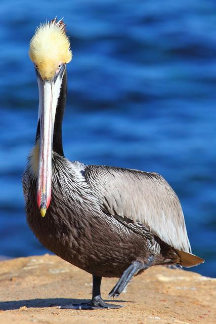 IMG_6704 California Brown Pelican at La Jolla